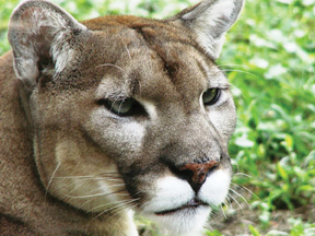 Florida panthers experienced the second year in a row of record-breaking road-kill deaths due to increased traffic and development in panther habitat.