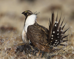 The Gunnison sage grouse merits endangered-species protection in part because the human population has doubled in its habitat and will double again in the next 20 years.
