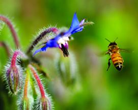 Honey bee. Photo by Danny Perez/Flickr/cc