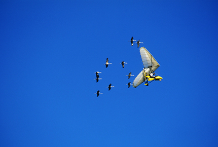 Whooping cranes follow an ultralight airplane on a 1,218-mile migration route from Necedah National Wildlife Refuge to Florida.