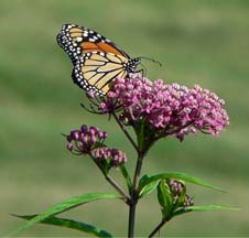 PLANT SWAMP MILKWEED to attract monarch butterflies and help sustain them during migration. Widely distributed throughout the U.S. and Canada, this native plant is tall, fragrant and deer-resistant. Milkweed photo: Teune at the English language Wikipedia [GFDL or CC-BY-SA-3.0], from Wikimedia Commons