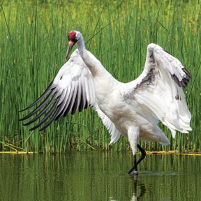 Despite the many years and millions of dollars dedicated to the recovery of the whooping crane, continued habitat degradation darkens its recovery horizon.