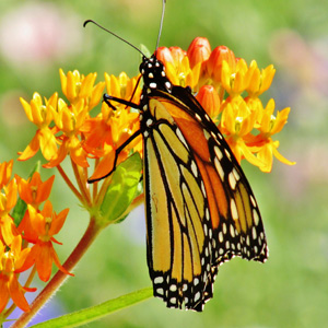 What can you do to help? Plant Milkweed and Don't Use Roundup!